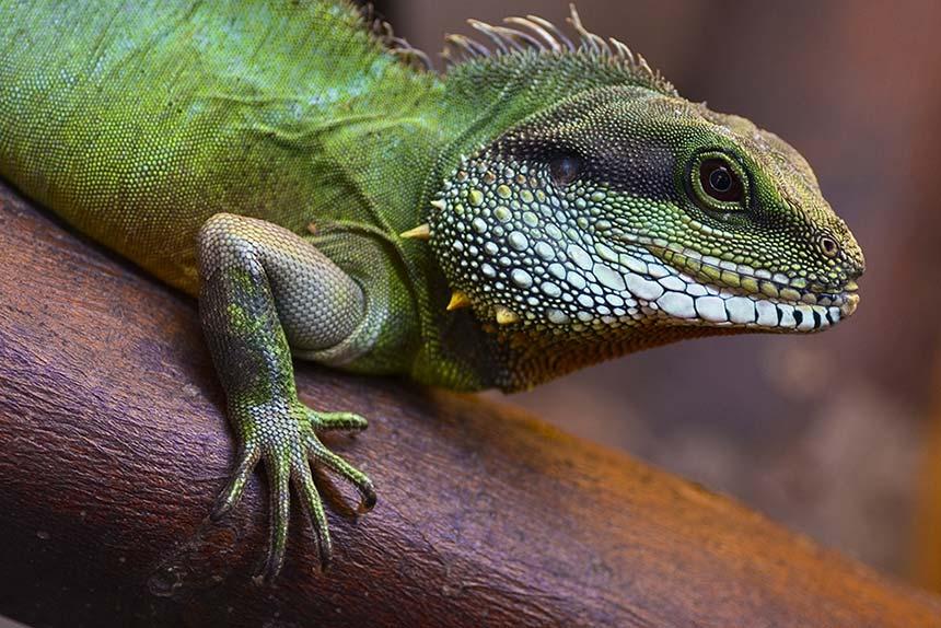 Baby-Krokodil im Rotlicht