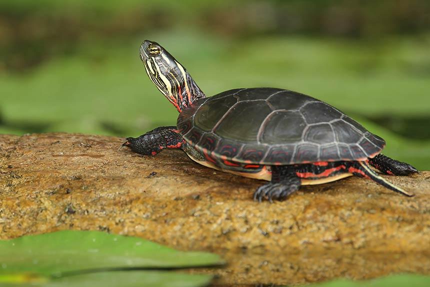 Crysemys Picta Wasserschildkröte
