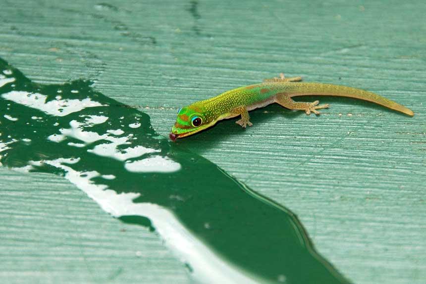 Gecko trinkt