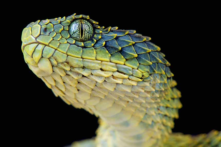 Bush Viper close up, toll