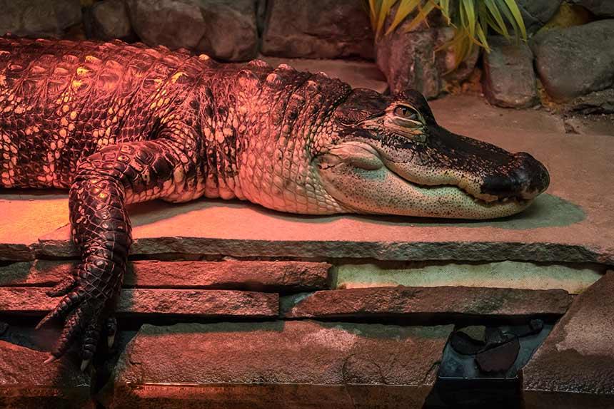 Krokodil unter Wärmelampe