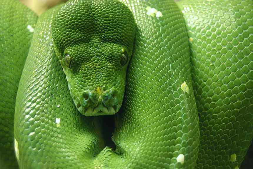 Grüne Schlange schläft