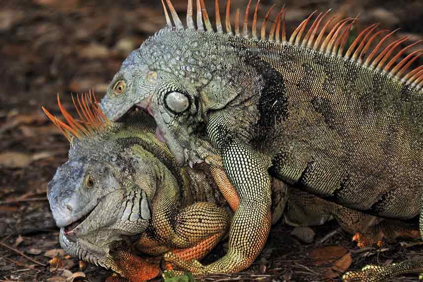 Leguane kämpfen
