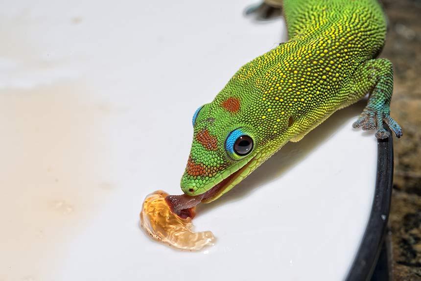 Taggecko schleckt Marmelade