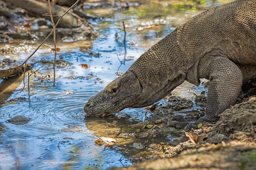 Komodo-Waran trinkt