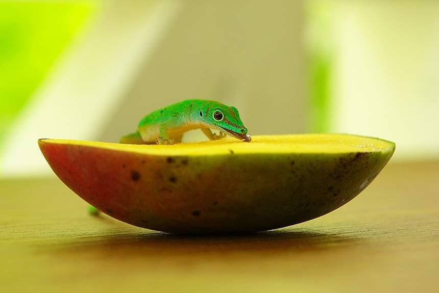 Anolis auf Mango