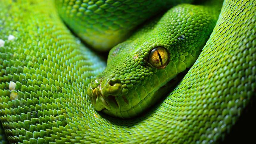 Schöne grüne Schlange