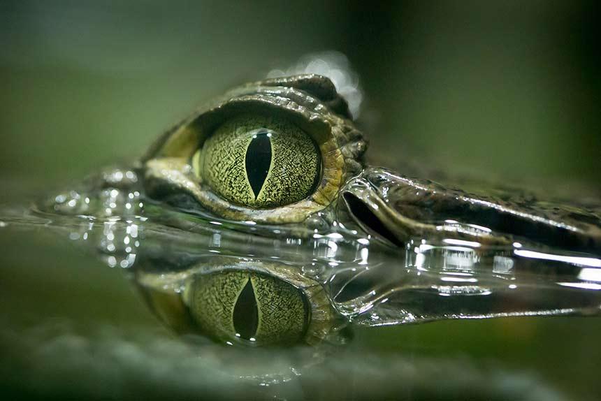 Krokodil sehr nah