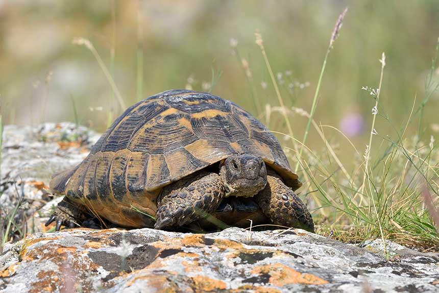 Griechische Landschildkröte auf Stein