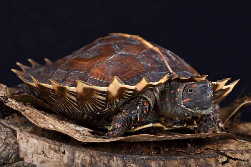 Stachel-Erdschildkröte